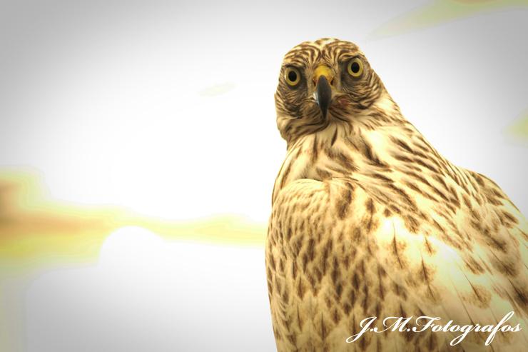 cetreria2012_jmfotografos